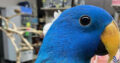 Blue Male Solomon Island Eclectus