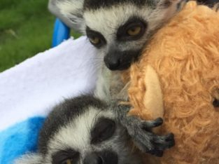Lemurs For Sale 3 Months Old