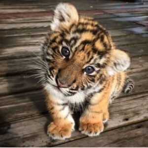 Baby Tigers For Sale Online