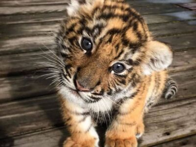 Gorgeous Baby Tiger For Sale